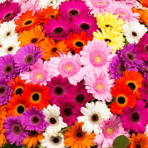 "Basket ""151 Color Gerbera"""