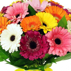 25 Colour gerberas